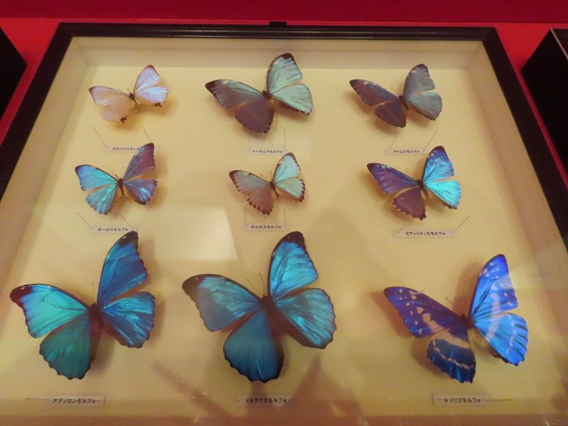 モルフォチョウの仲間の標本