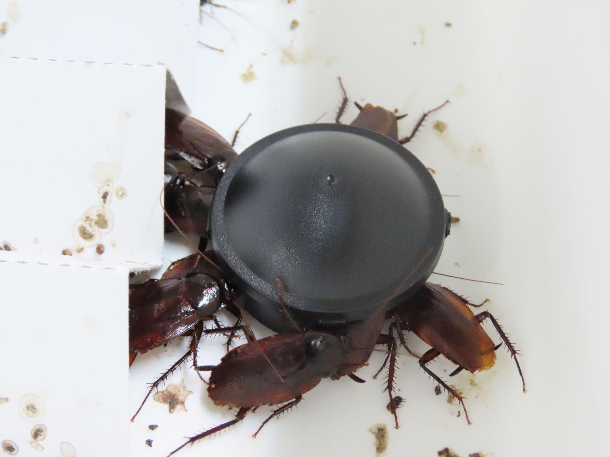 フタ付きのブラックキャップに群がるクロゴキブリ