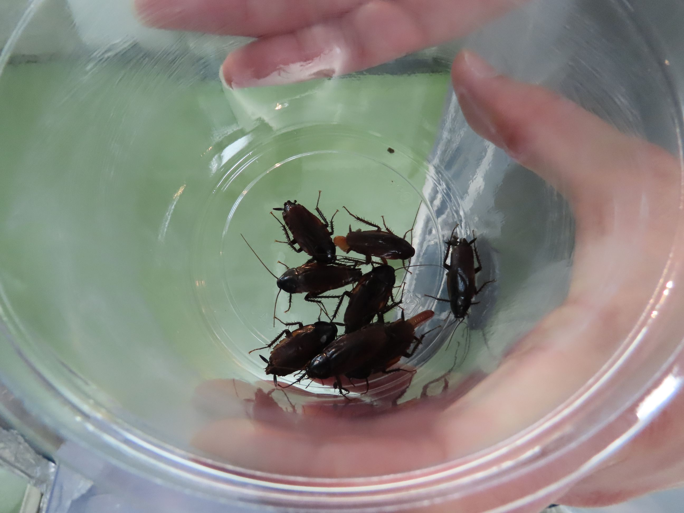 アース製薬で飼育されているクロゴキブリ
