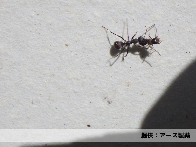 シロアリの翅アリを持ち去ろうとするクロアリ