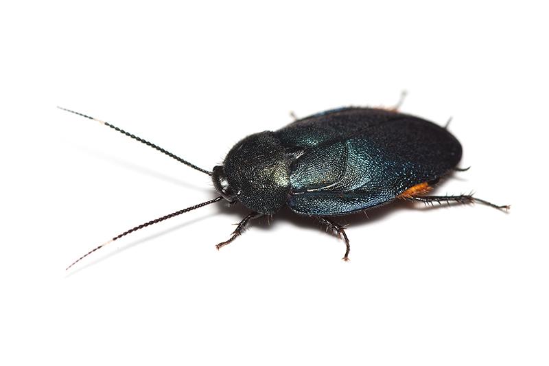 ルリゴキブリ♂の写真