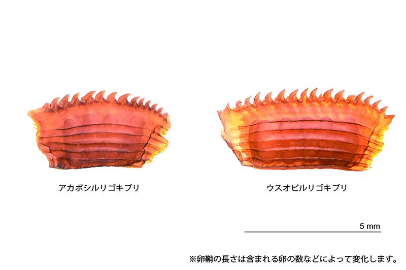 アカボシルリゴキブリ(左)とウスオビルリゴキブリ(右)の卵鞘の写真
