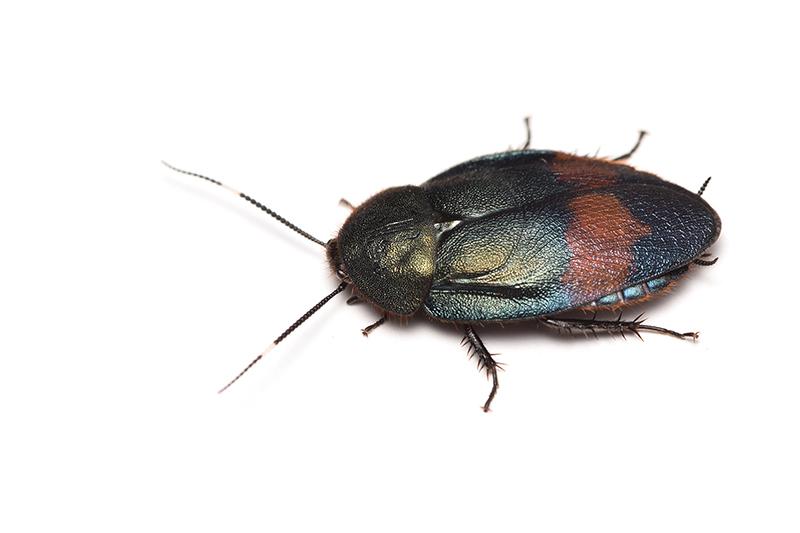 ウスオビルリゴキブ♂の写真