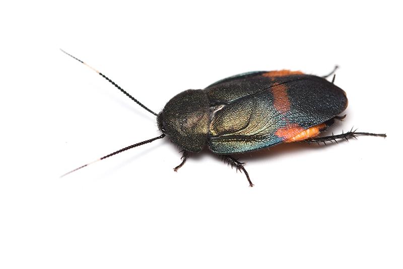 アカボシルリゴキブリ♂の写真