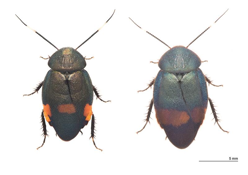 アカボシルリゴキブリ(左)、ウスオビルリゴキブリ(右)の写真