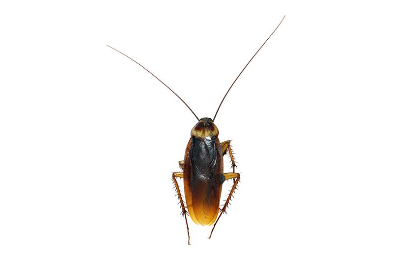 ワモンゴキブリ成虫